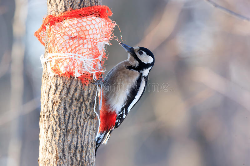 Dendrocopos major, Great spotted woodpecker. royalty free stock photography
