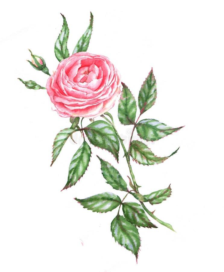dendrog vattenfärgillustrationen av det rosa anbudet steg vektor illustrationer