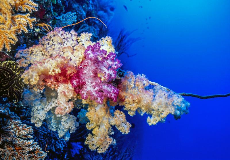Dendronephthya soft corals. Dendronephthya, The Alcyonacea, or the soft corals are an order of corals which do not produce calcium carbonate skeletons stock image