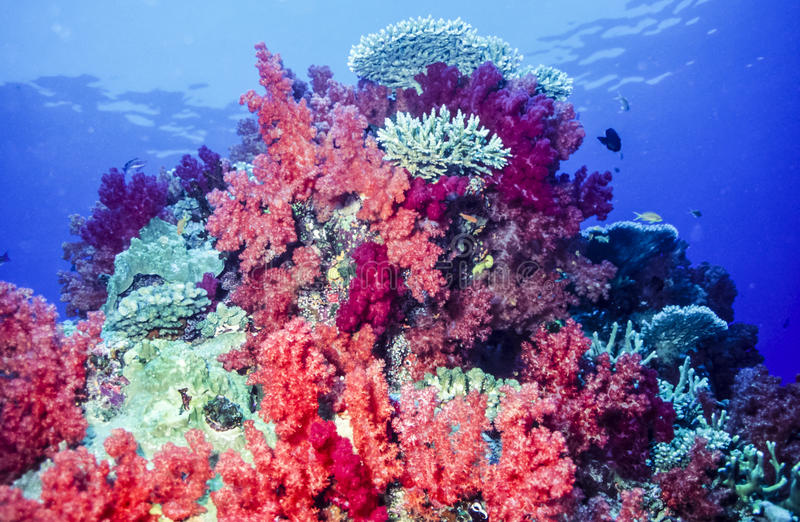 Dendronephthya soft corals. Dendronephthya, The Alcyonacea, or the soft corals are an order of corals which do not produce calcium carbonate skeletons royalty free stock images