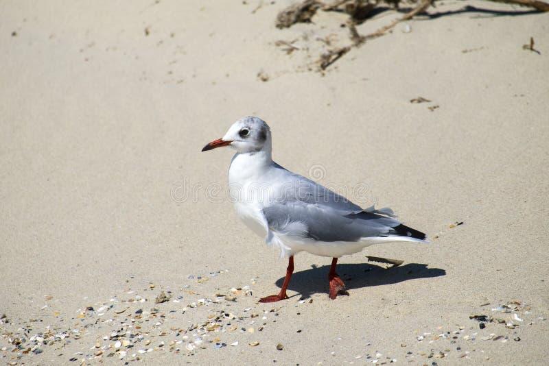 denfakturerade fiskmåsen promenerar den sandiga stranden royaltyfria foton