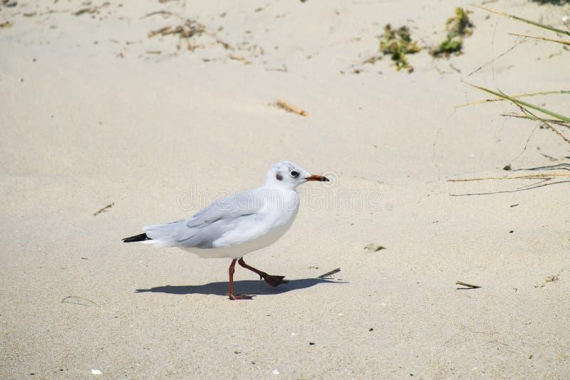 denfakturerade fiskmåsen promenerar den sandiga stranden royaltyfria bilder