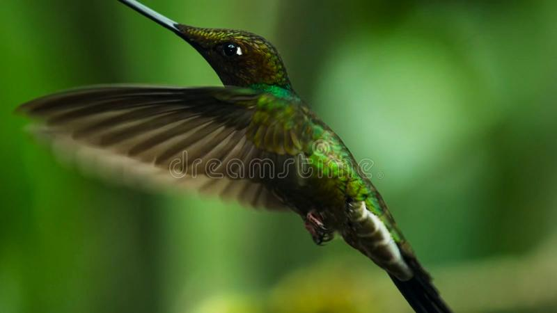 Denfakturerade kolibrin är neotropical art från Ecuador, svärd-fakturerad kolibri Han skjuta i höjden och dricker royaltyfri bild