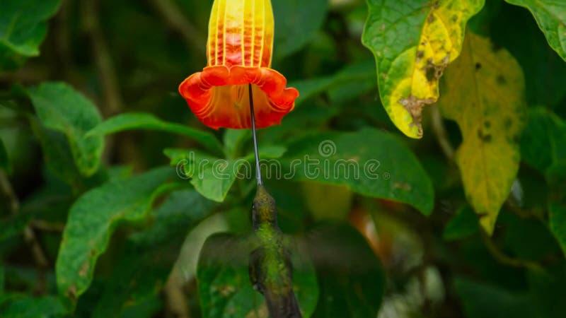 Denfakturerade kolibrin är neotropical art från Ecuador, svärd-fakturerad kolibri Han skjuta i höjden och dricker royaltyfri foto