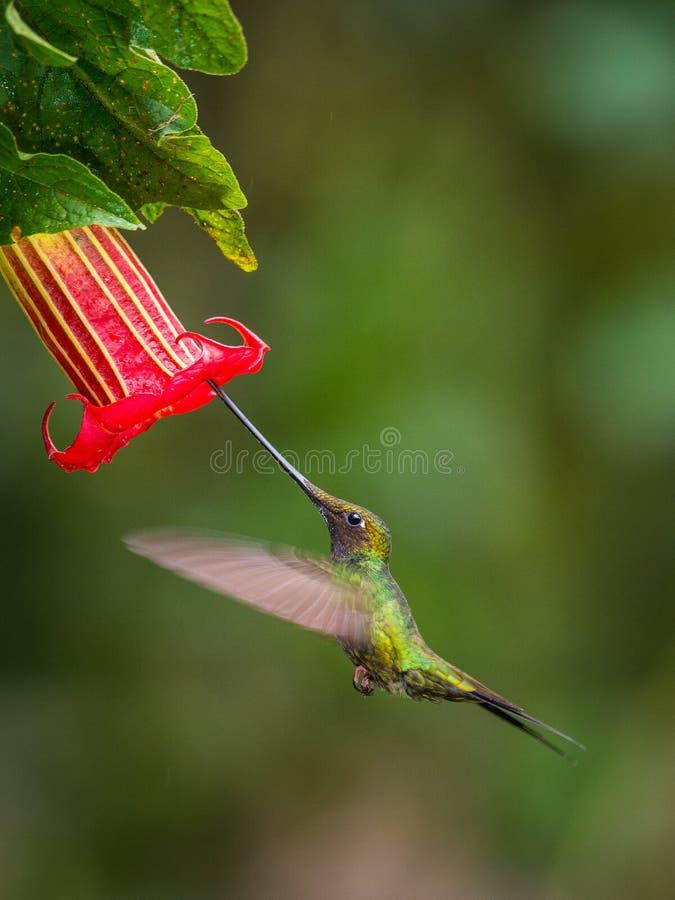 Denfakturerade kolibrin, den Ensifera ensiferaen är neotropical art från Ecuador Han är sväva och dricka nektaret från arkivbilder
