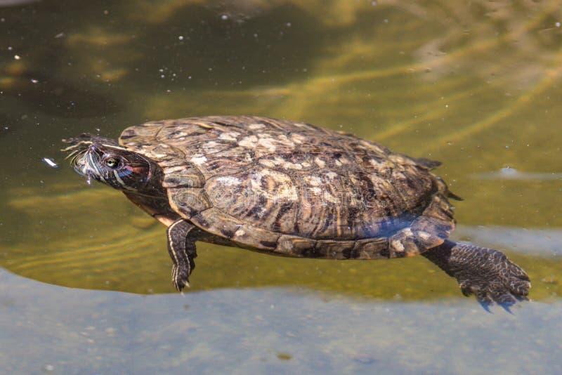 Dengå i ax glidaresköldpaddan gör ett perfekt husdjur arkivbild