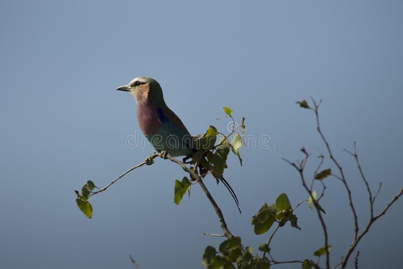 dengick mot rullen sätta sig på en filial i den Kruger nationalparken, Sydafrika royaltyfria foton