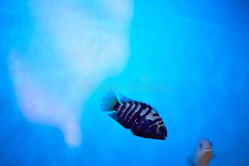 dengjorde randig cichlasomaen simmar i blått akvariumvatten _ royaltyfri bild