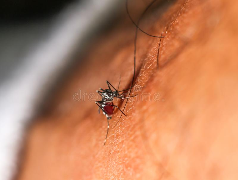 Dengue-Fieber zika chikungunya Fiebermoskito-Aedes aegypti auf menschlicher Haut stockfoto
