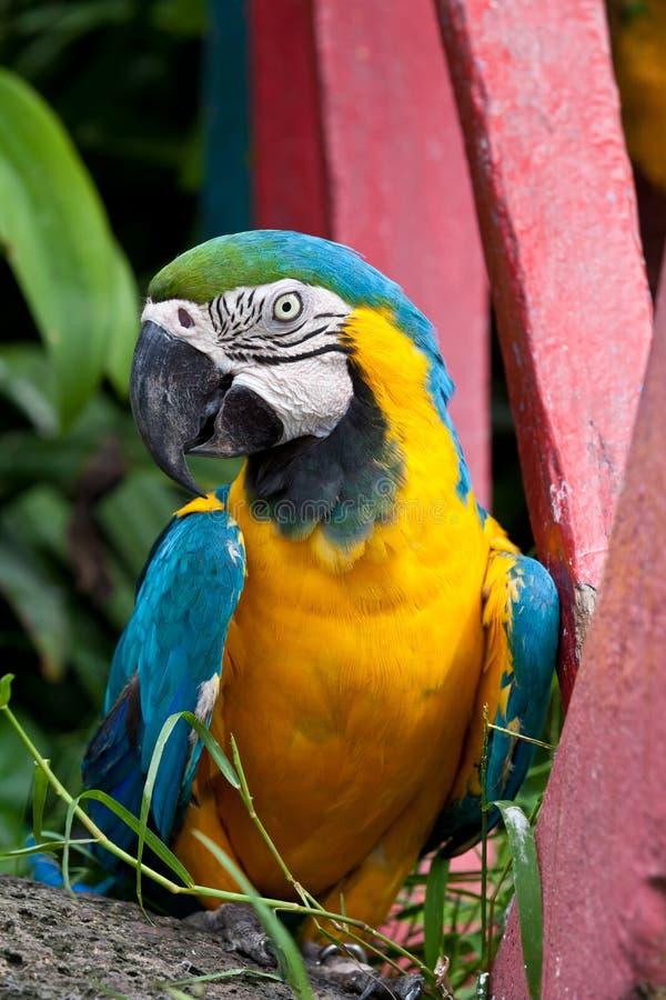 Dengula Macawfågeln. royaltyfria foton