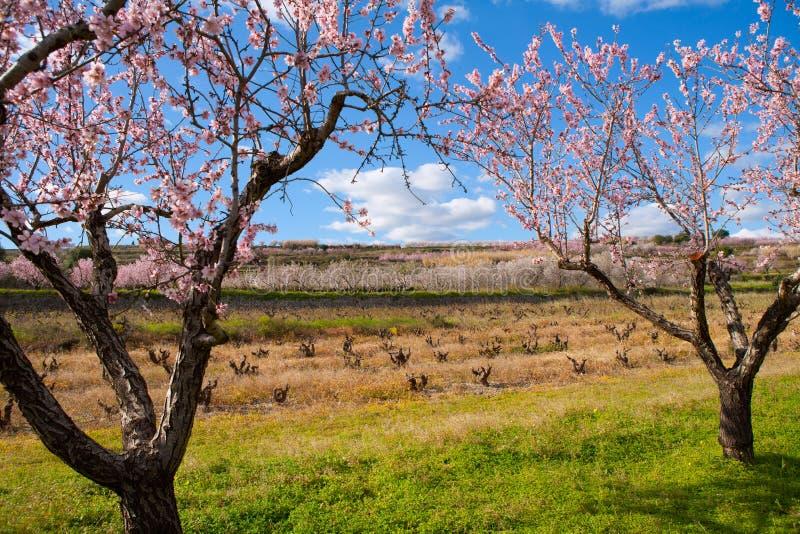 Denia Javea весной с миндальным деревом цветет Аликанте стоковая фотография rf