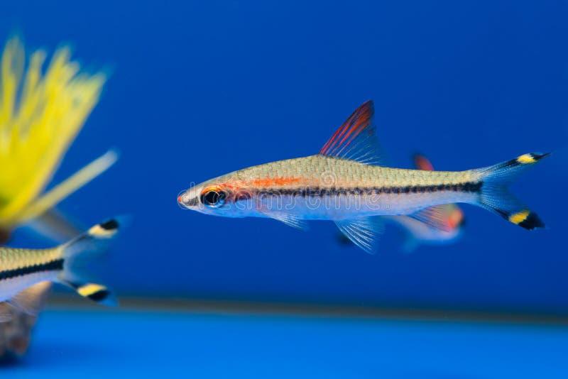Denisonii de Barbus na água azul fotos de stock