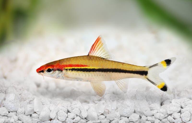 Denisons barbeta Roseline rekinu Sahyadria denisonii czerwonej linii petardy barbet obrazy royalty free