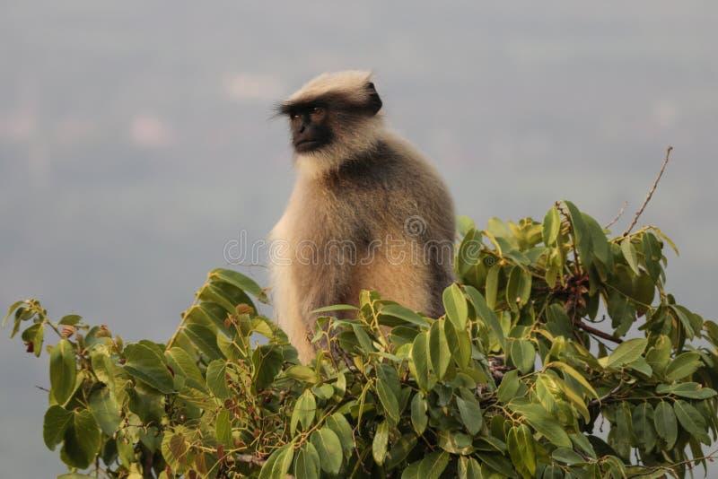 Denkender Affe stockbilder
