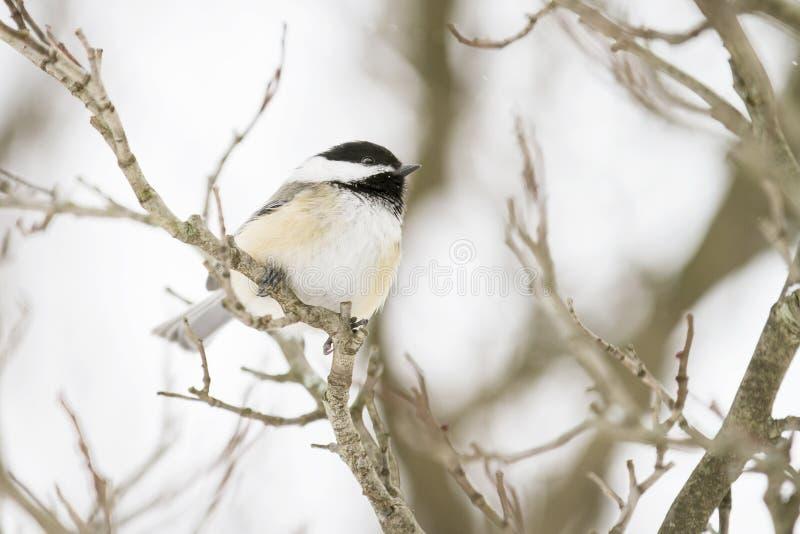Denkorkade chickadeen sätta sig på en filial i vintern arkivbilder