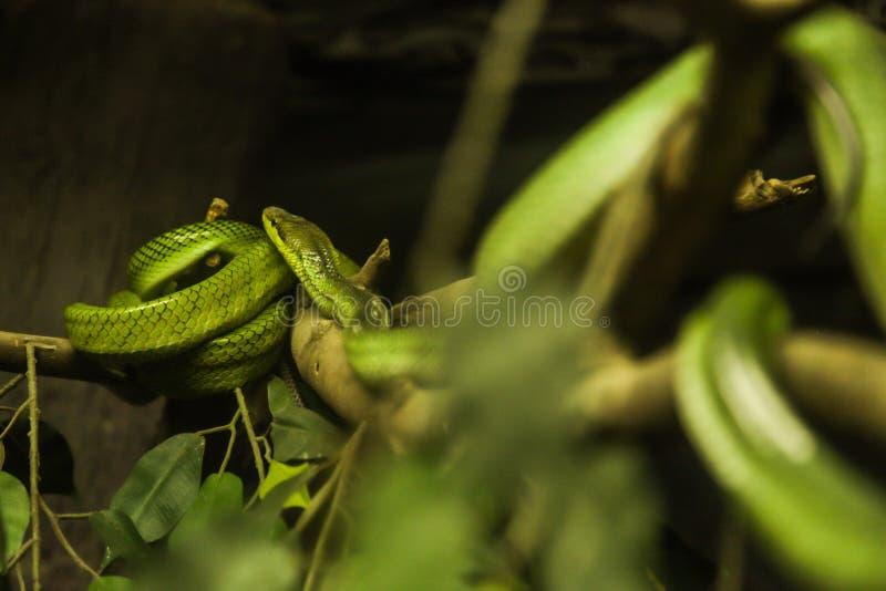 denlipped grophuggormen, är en giftig endemisk för art för grophuggorm till South East Asia Färgmodell: grönt över, sida av huvud royaltyfri fotografi