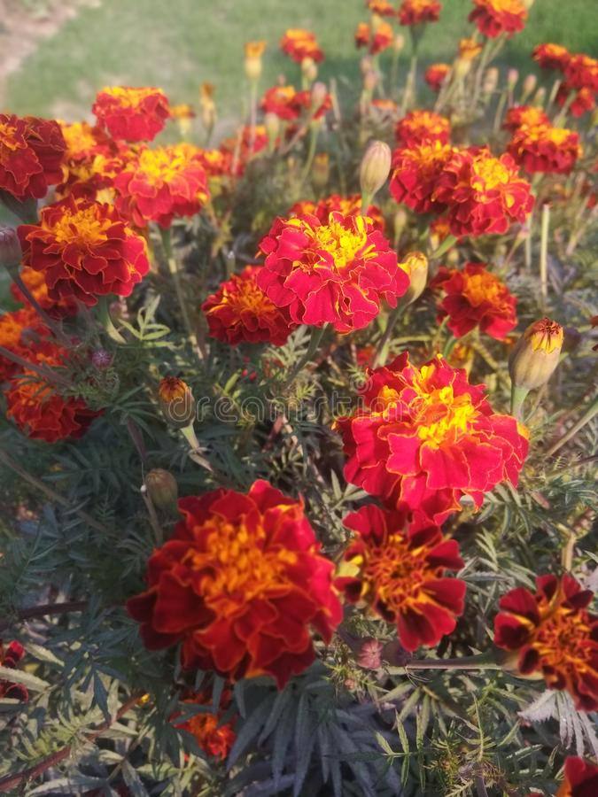 Denna är blommorna av den indiska byn från det Bihar tillståndet royaltyfria foton