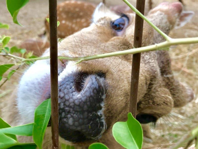 Denna är en sort av hjortar i Vietnam royaltyfria foton