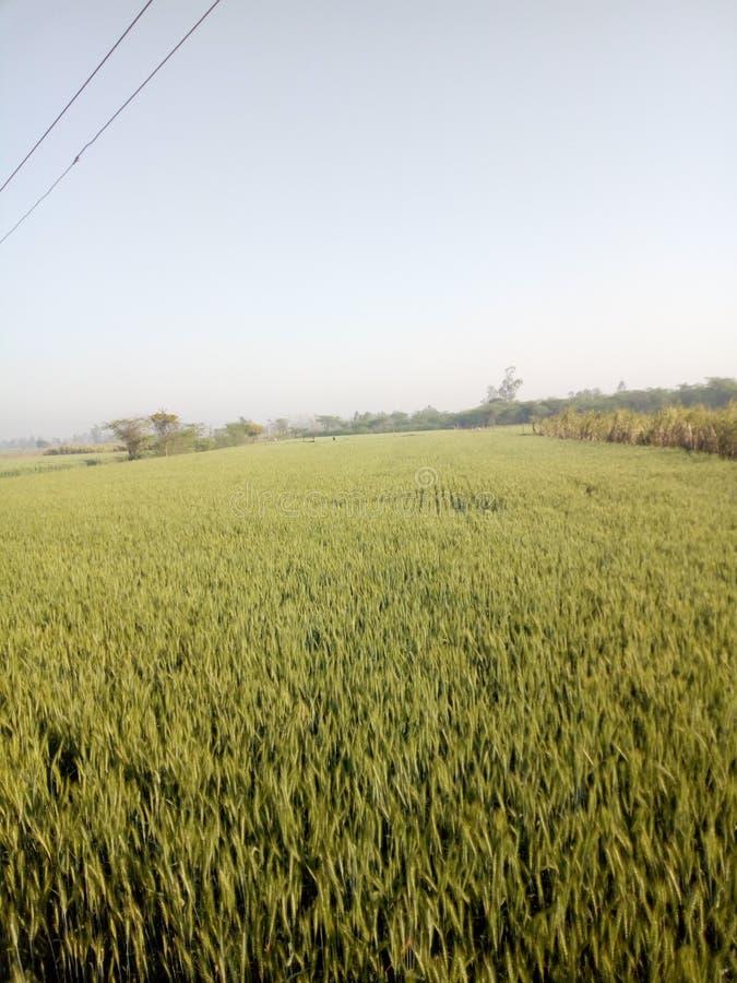 Denna är indiska skördar, vete somfältet Thos är så härligt royaltyfri foto