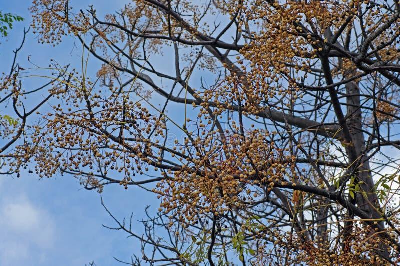 Denna är Meliaazederach, Chinaberryträdet eller uddelilan, Pärla-trädet, familjMeliaceae royaltyfria foton