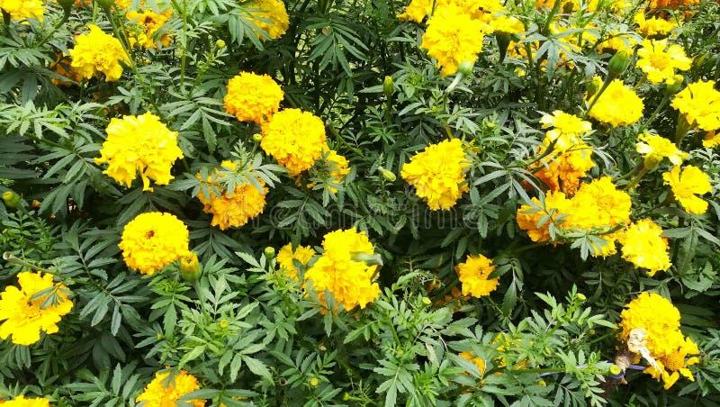 Denna bild är Sri Lanka gula blommor arkivbild