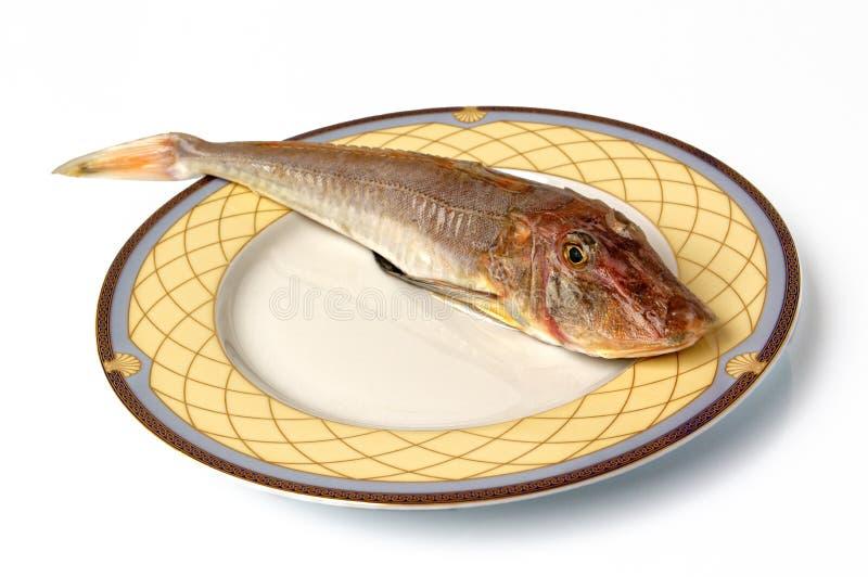 Denna czerwona gurnard gallinella ryba obraz royalty free