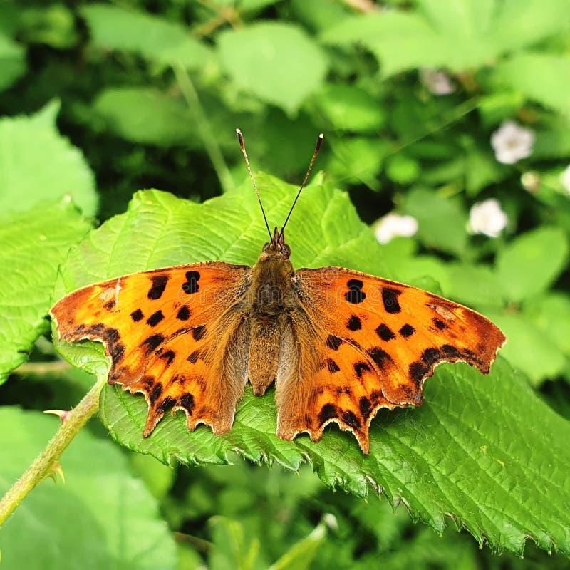 Denna fjäril är en skönhet av modernaturen royaltyfria bilder