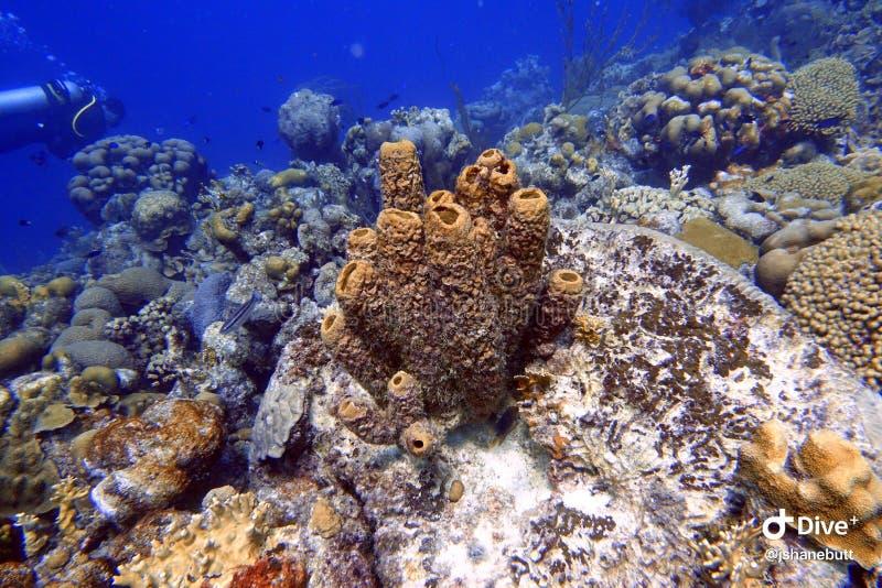 Denna gąbka dołączająca rafa koralowa w oceanie i skała fotografia royalty free