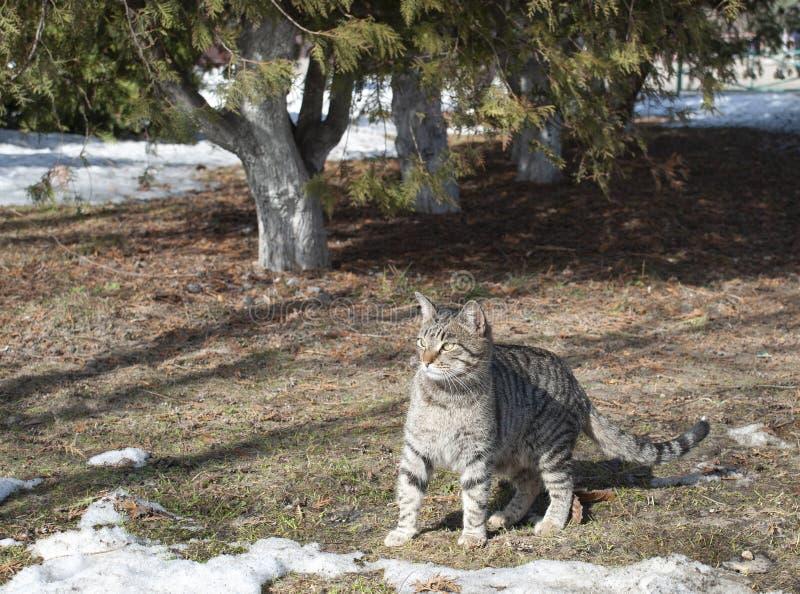 Denna gråa katt för tigrinen spelar under träden royaltyfri foto