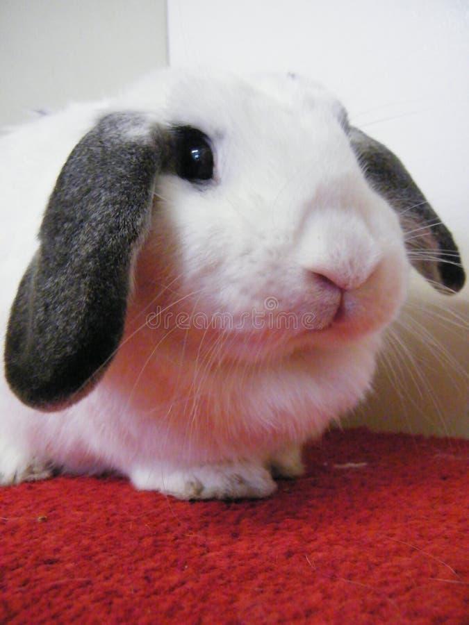 Denna härliga kanin är blåbäret royaltyfria foton