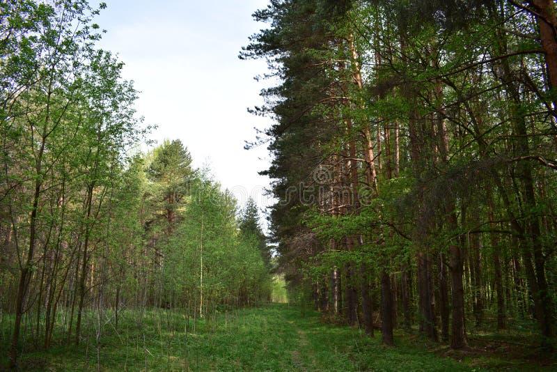 Denna skog är tyst, och majestätiskt, står bara bland de spridda skogarna och ljusa björkträna arkivbild