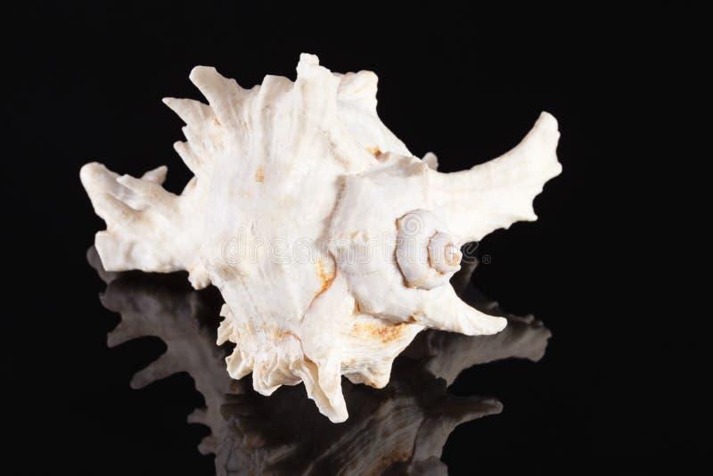 Denna skorupa drapieżczy dennego ślimaczka Chicoreus ramosus odizolowywający na czarnym tle obrazy royalty free