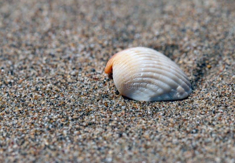 Denna skorupa na brąz piaskowatej plaży zdjęcia stock