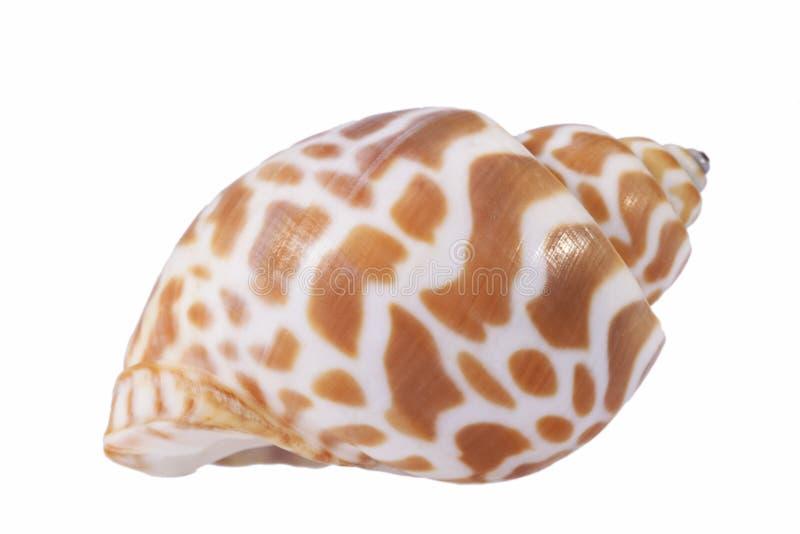 Denna skorupa odizolowywająca na białym tle morski ślimaczek obraz royalty free