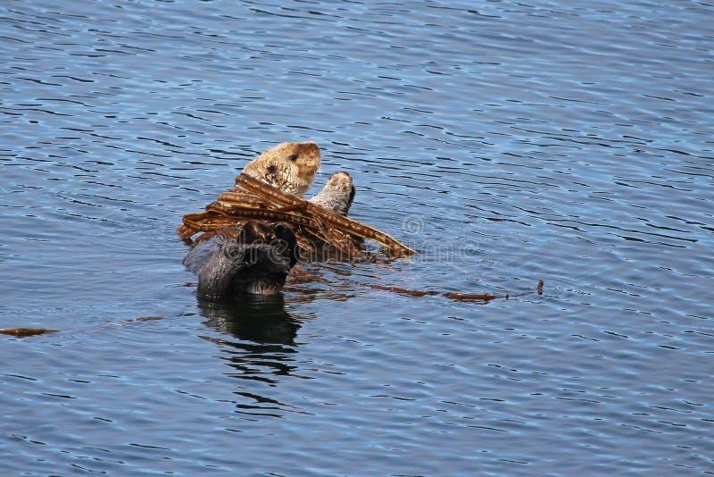 Denna wydra w Kelp łóżku zdjęcia stock