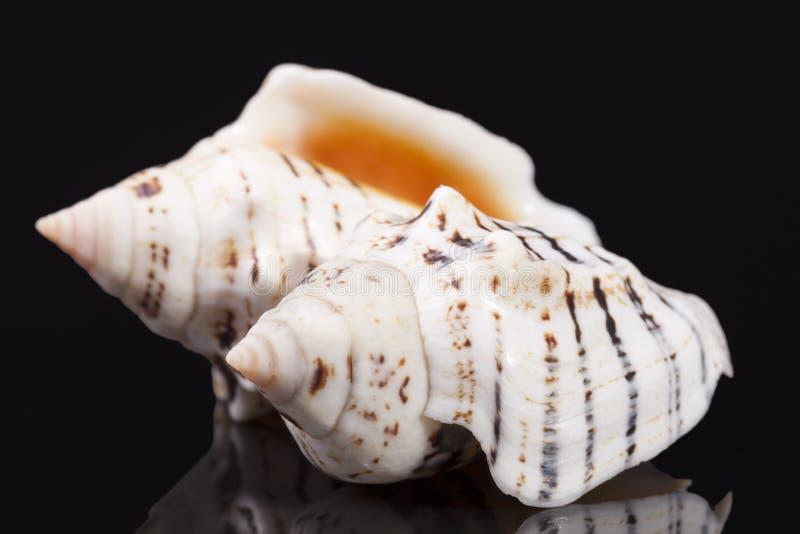 Denne skorupy morscy ślimaczki na czarnym tła zakończeniu up obraz royalty free
