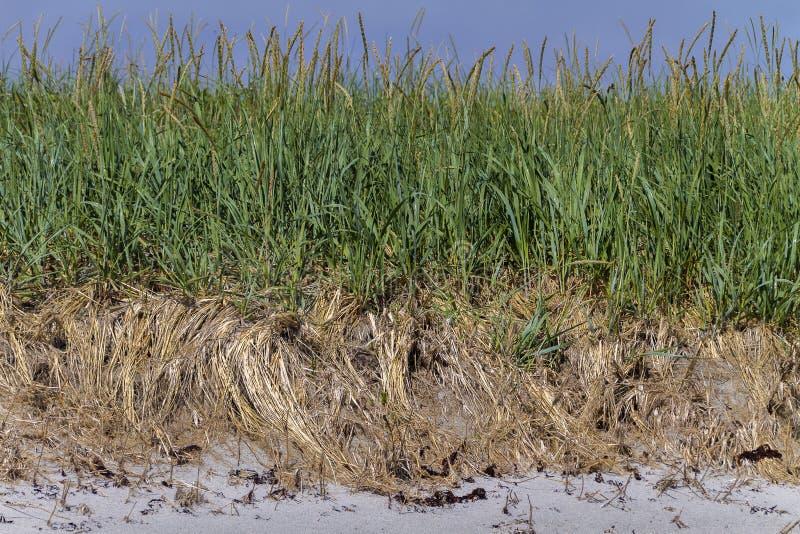 Denne trawy na piasek diunie, wodołaz zdjęcie royalty free