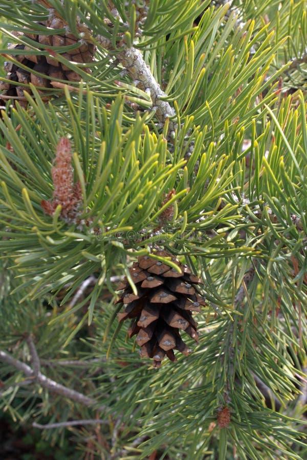 Denneappel in een boom stock foto