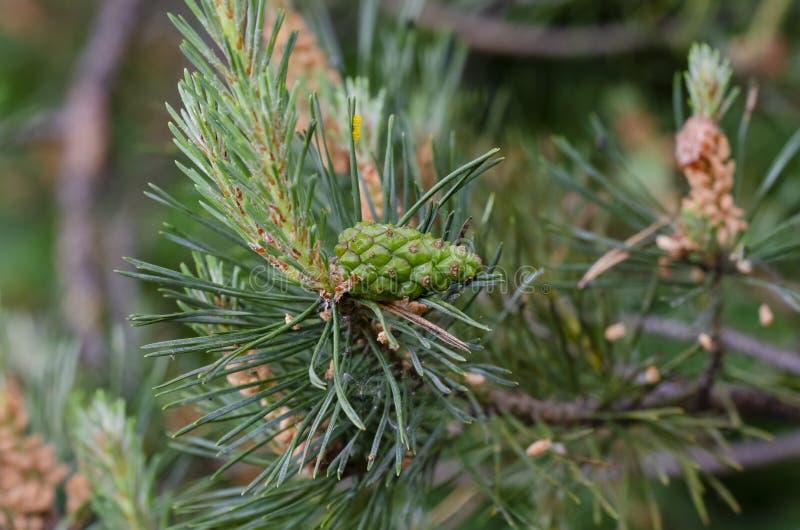 Denneappel en pijnboomnaalden van Gemeenschappelijke Scots pijnboom stock fotografie