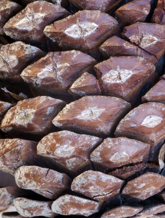 Denneappel Macrodetail stock foto's