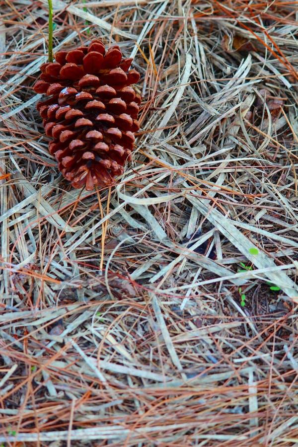 Denneappel op vloer van bos stock foto's