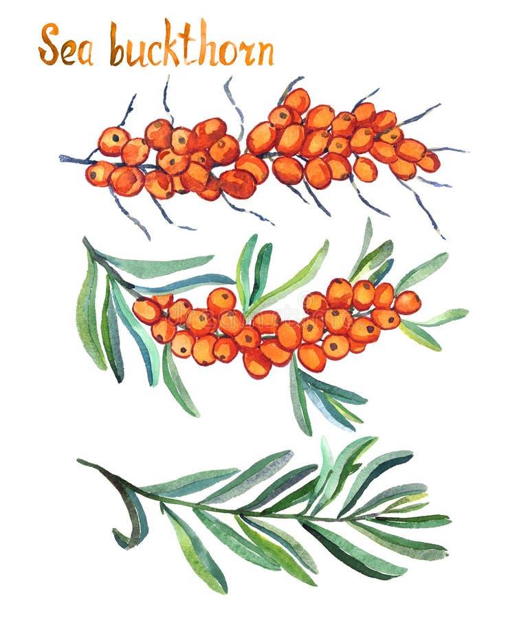 Dennego buckthorn gałąź z dojrzałymi jagodami, jagodami i liśćmi, liście royalty ilustracja