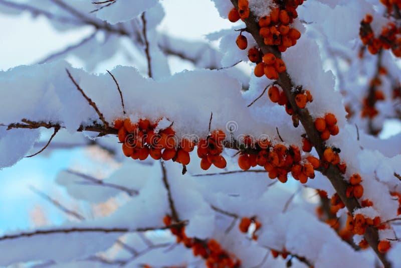 Dennego buckthorn gałąź zakrywająca z śniegiem zdjęcia stock