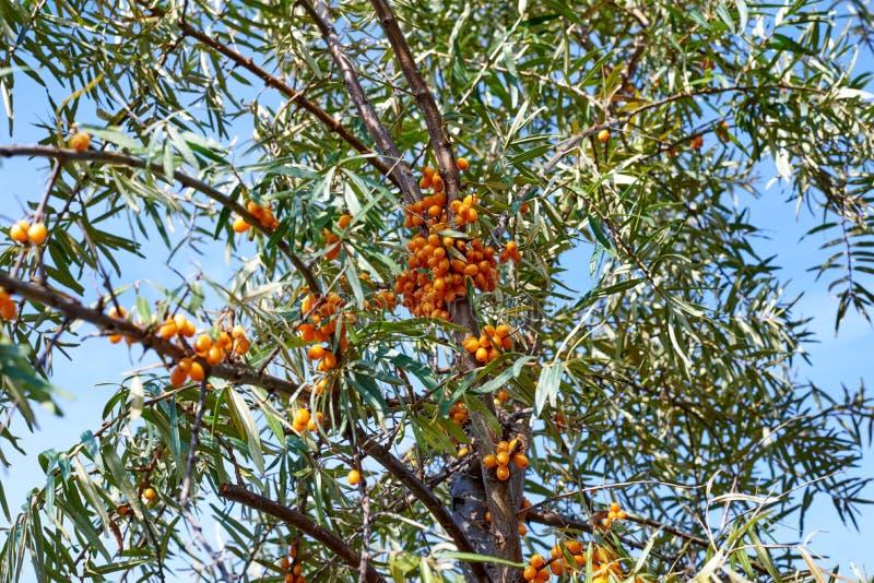 Dennego buckthorn jagody na gałąź z liśćmi obraz royalty free
