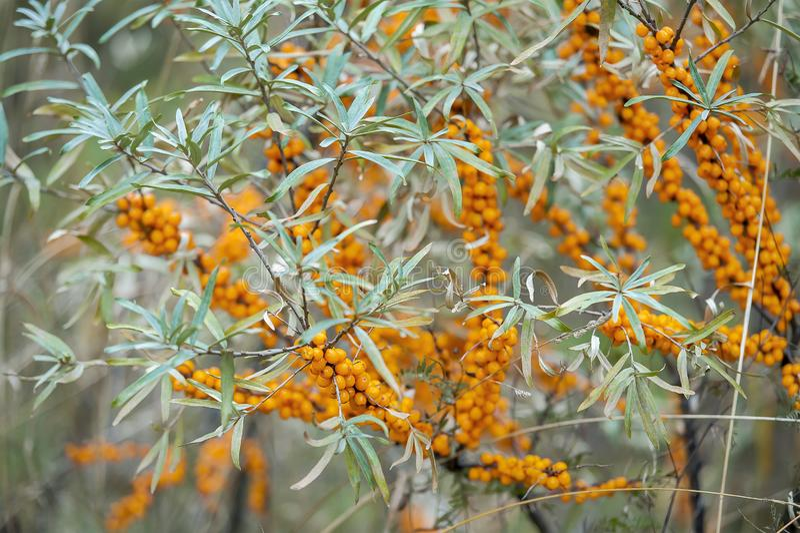 Dennego buckthorn krzak z rhamnoides, Sandthorn, Sallowthorn lub Seaberry Żółtych jagod Hippophae, obraz royalty free