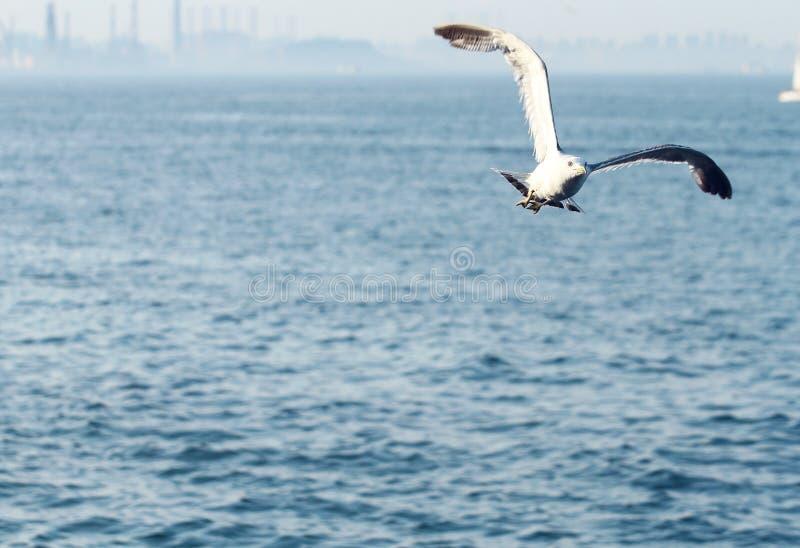 Dennego frajera ptasi latanie nad morzem obrazy royalty free