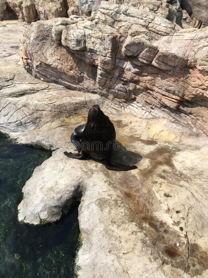 Dennego lwa kłoszenie w górę fotografia royalty free