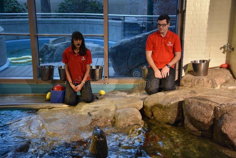 Dennego lwa przedstawienie przy Morskim akwarium w Norwalk, Connecticut obraz royalty free
