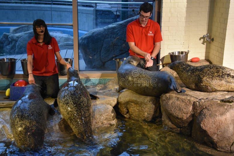 Dennego lwa przedstawienie przy Morskim akwarium w Norwalk, Connecticut zdjęcie stock