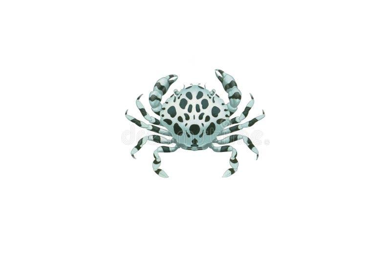Dennego ogórka krab odizolowywający na białym tle (Lissocarcinus orbicularis) obrazy stock